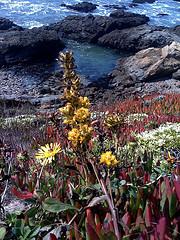 Golden sea flower