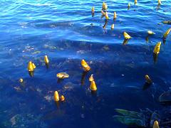 Bobbing seaweed Oct 4