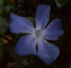 Blue flower at night