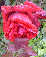 Red rose & raindrops