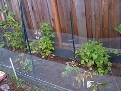 Raspberry beds