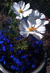 White flower & blue