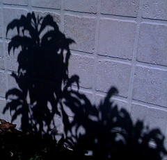 Peach tree shadow