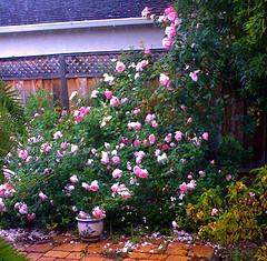 Pink rosebed