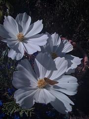White flower title