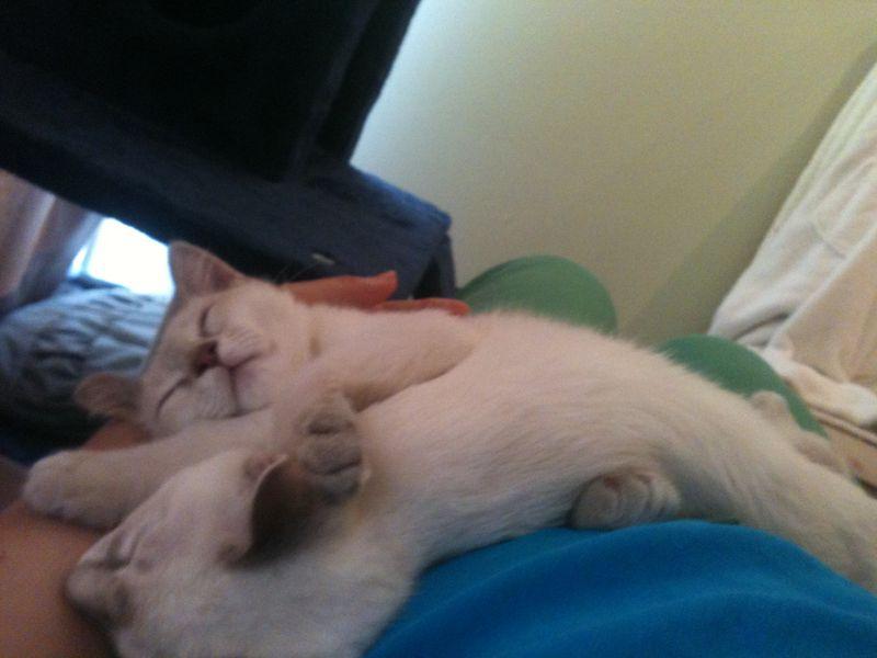 Cute kittens on lap