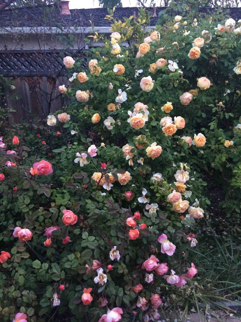 Yellow n orange roses